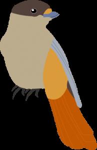 Siberianjay
